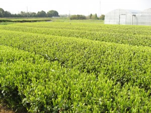 豊橋のお茶畑