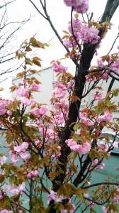 八雲だんごの八重桜