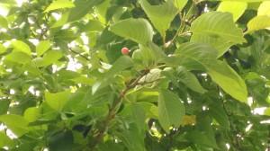 八雲だんごの桜に実ったさくらんぼ